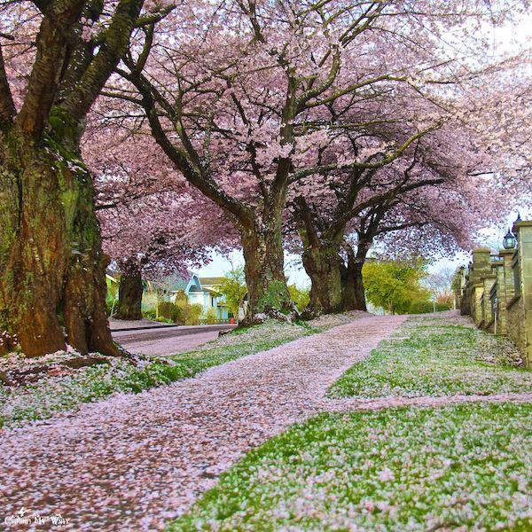 Imagem do paconte Cerejeiras no Japão com guia brasileiro - saída 29/mar